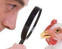 Biologisch kip weer de vrije uitloop in ......